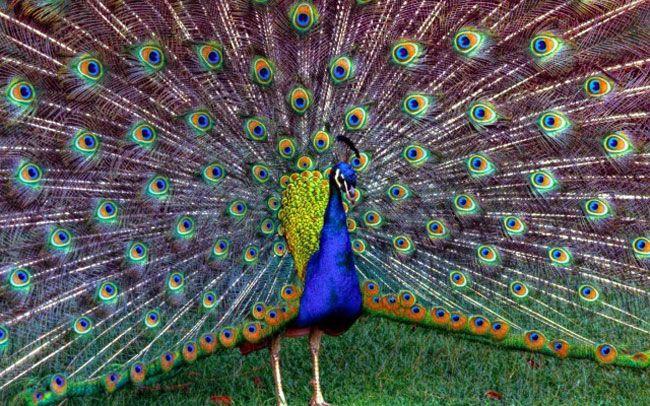 Påfugl