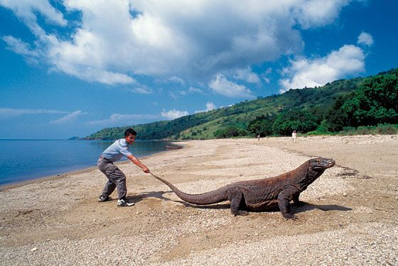 Chasing Komodo dragons in Indonesia; Komono Island; New york Magazine is the best magazine ever; great winter getawaysl winter escapes