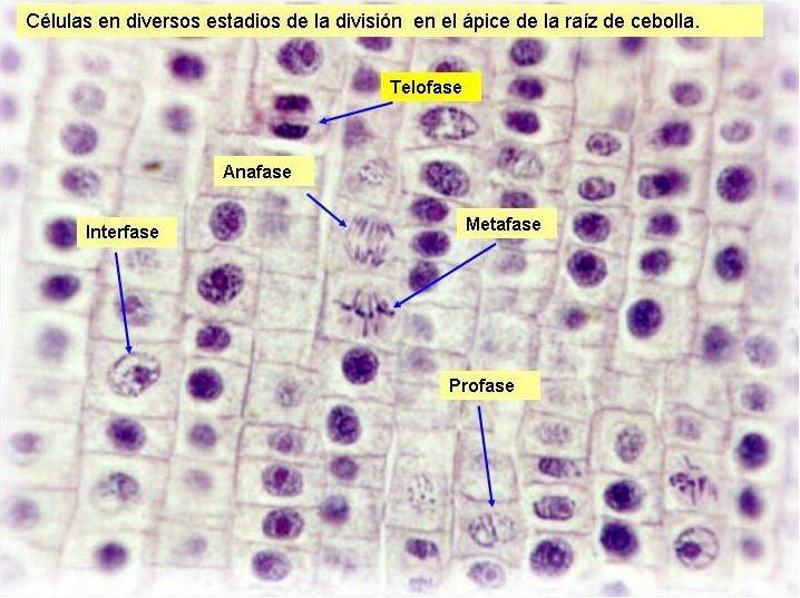 144 best biologa celular images on pinterest cell biology mitosis microscopio raiz de cebolla buscar con google ccuart Gallery