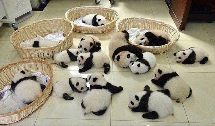 いいね!11.8千件、コメント173件 ― Panda Vibesさん(@panda_vibes)のInstagramアカウント: 「Panda reunion 」