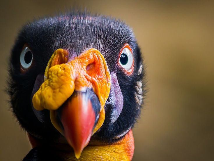 King Vulture  Photograph by Jorge A. Bohorquez: Gallinazo Real, Animal Pictures, Amazing Photography, Animal Kingdom, National Geographic, Little Birds, My Photography, South America, King Vulture