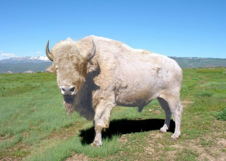 The return of the White Bison...The rebirth of the Native American Spirit