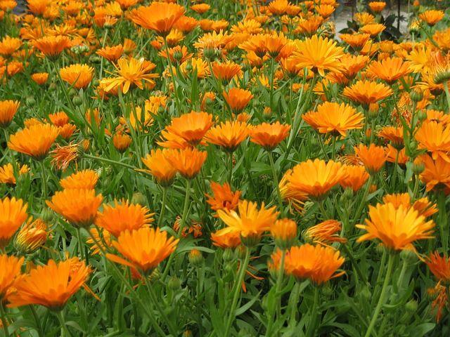 Goudsbloem. Het is een eenjarige plant met meestal oranje, maar soms ook gele bloemen. 30-45 cm hoog. Bloeit van mei tot november. De vruchten zijn meestal gekromd en bootvormig. Verse of gedroogde bloemen kunnen worden gebruikt in soepen