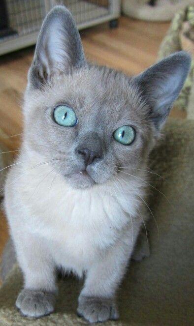17 Best Ideas About Tonkinese Cat On Pinterest Tonkinese