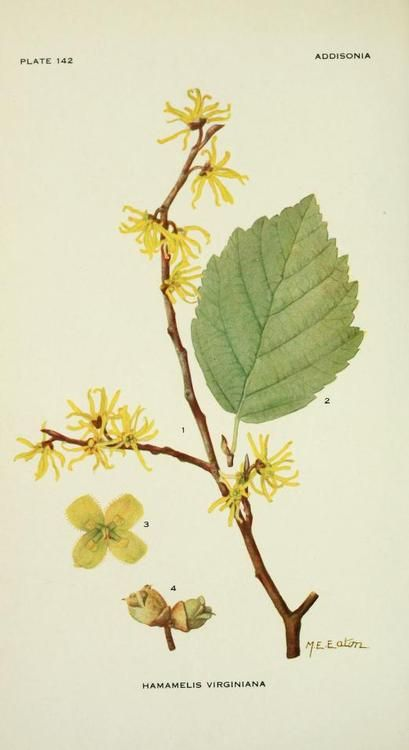Hamamelis Virginiana (Witch-hazel). Illustration by Mary Eaton. Plate from…
