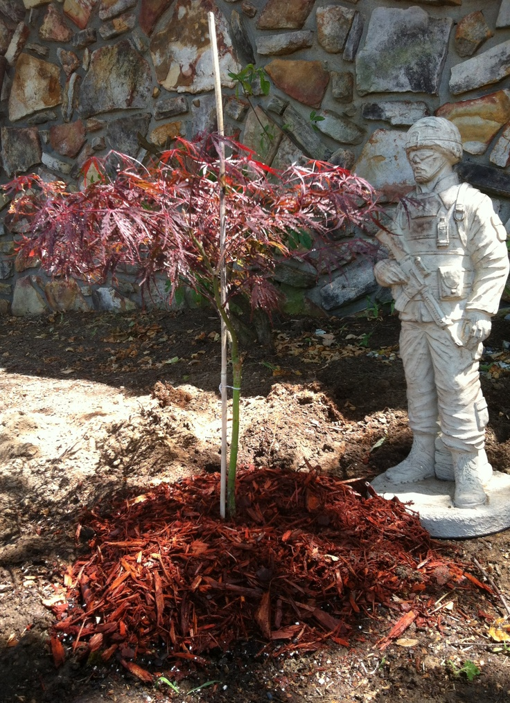 197 Best Images About Japanese Maple Dwarfs On Pinterest Scarlet Japanese Maple Trees And