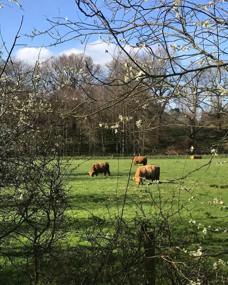 Ginger coos #highlandcoo #pollockpark #pollockhouse #spring #springtime #glasgow #instaglasgow #blossoms #southside #scotland