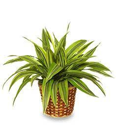 69 best House Plants images on Pinterest House plants Indoor