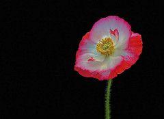 ***Poppy Pop (12bluros) Tags: poppy flora floral flower ef100mmf28lmacroisusm closeup blackbackground nybg minimalism