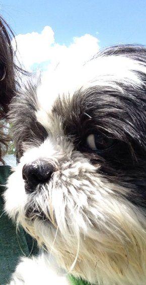 Suspicious Looking Shih Tzu Dog