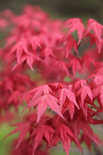 The Japanese maple grove planted last summer is thriving.  This bright red variety is Acer palmatum 'Shindeshojo.'