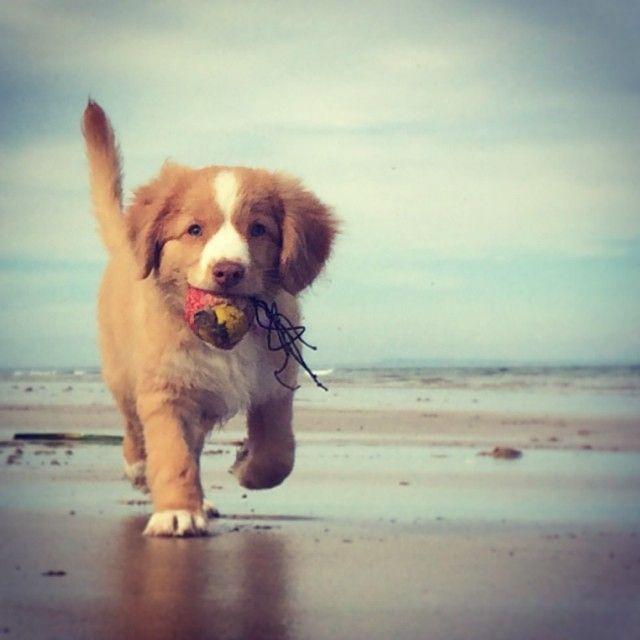 Instagram by pocketvet | Nova Scotia Duck Tolling Retriever Instagram | Puppy Tales Instagram Dogs #puppytales #puppy