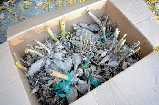 Зимнее хранение посадочного материала.  Вегетативный посадочный материал выкапывают перед уходом растений на покой и хранят при определенных условиях в закрытых помещениях.
