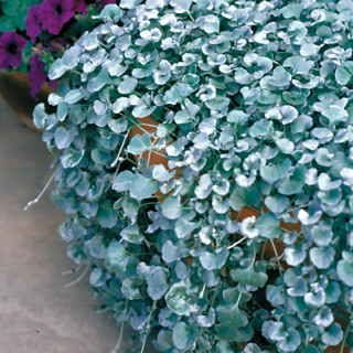 Silver Falls Dichondra Ground Cover. A cascading foliage annual from seed with silver leaves and stems. Must find random spot