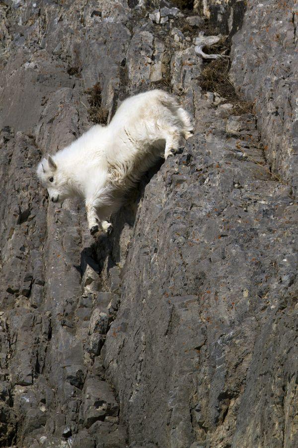Wildlife Olympics - Tricky Dismount, Mountain Goat Kid