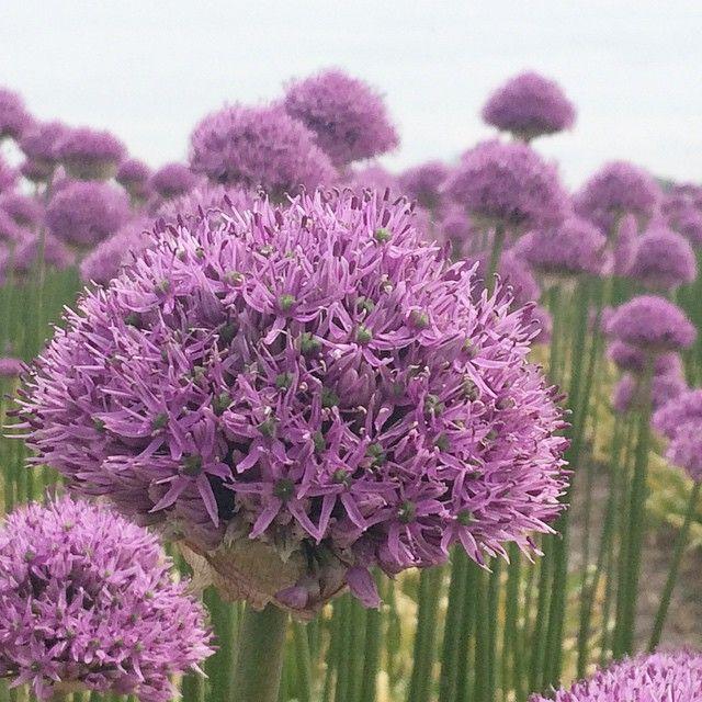 Onderweg van klant naar huis kreeg ik dag 4/100 van #100daysof_summer zo in schoot geworpen...veld #aliums #bloemen #paars #flowers #purple #moesterwelvoorovereenhekjeklimmen...#100daysof_summervaningrid