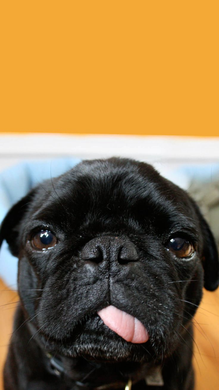 Cute Black Pug Wallpaper iPhone HD