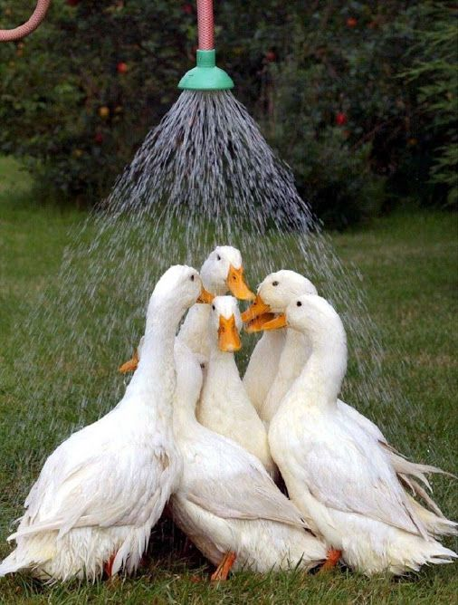 "Ducks:  ""Wonder if the Farmer thinks by watering us, like this, we'll grow faster?!  Haha!"""