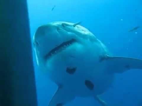 Большая белая акула и люди.