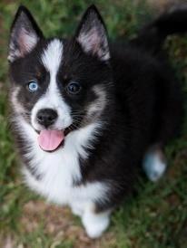 pomsky. Yes I have a pomeranian! Yes there is such thing as a Huski cross Pomeranian. POMSKY!!! I want!