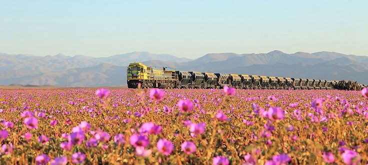 "A train travels through Chile's Atacama Desert during the height of ""desierto florido."""