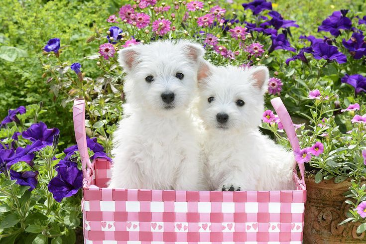 White Photograph - Puppies In A Pink Basket by Greg Cuddiford