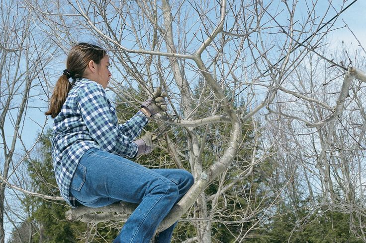 How to Prune an Old Apple Tree Vegetable Gardener