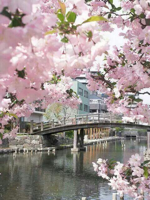 cherry blossoms around the bridge in sakura japan