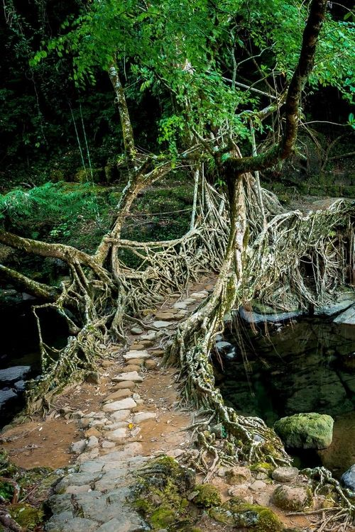 The living bridges of Meghalaya, India are made from the roots of the Ficus elastica tree.  by Shiraz Hansen