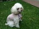 Compro French Poodle Mini Toy En Guatemala