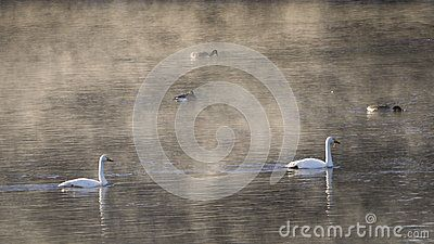 Swans and ducks on a river in Savast, Northern Sweden.