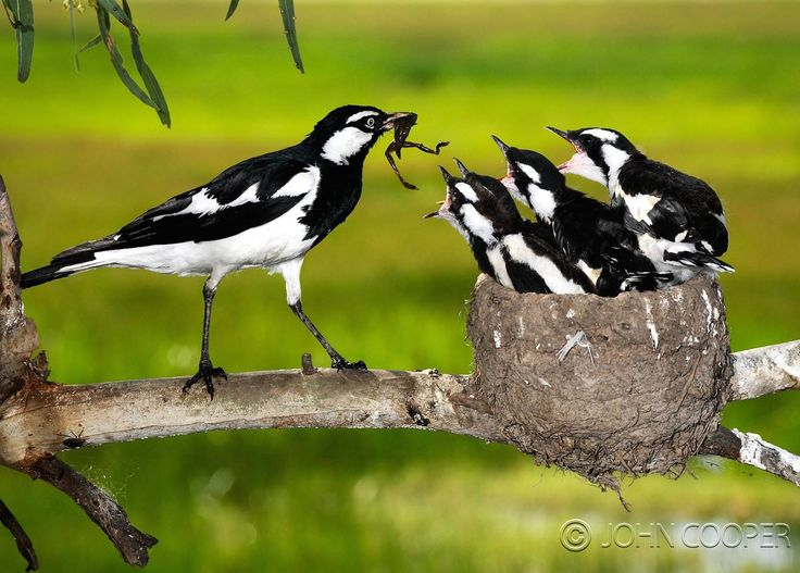 "Magpie lark (Grallina cyanoleuca). Black and white Australian bird. In Victoria, Australia, we also call them mudlarks (muddies) and peewees. One of their calls sounds rather like, ""Peewee!"""