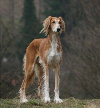 saluki photo | Genetique Rhodesian, Pharaoh Basenji, Saluki, Afghan et chiens de ...
