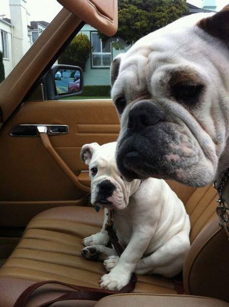 Dad drives a car. :): Animals, English Bulldogs, Pets, Puppy, Things, Friend