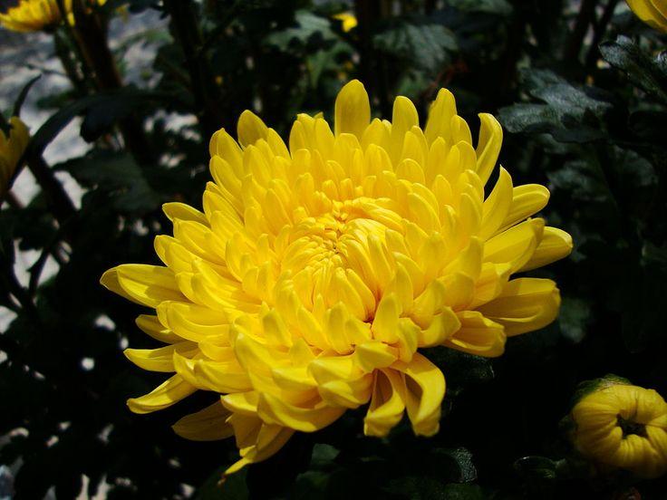 Chrysanthemum morifolium (2).JPG