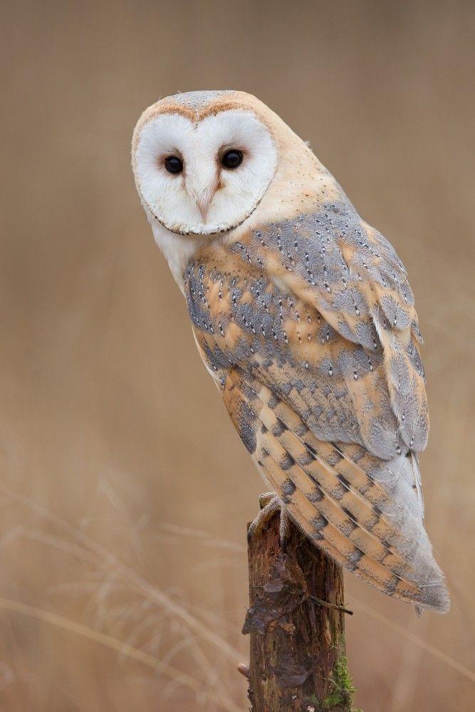 Tyto alba / Barn owl / Sova pálená - by Milan Zygmunt