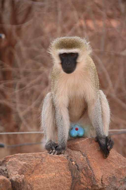The blue-balled monkey