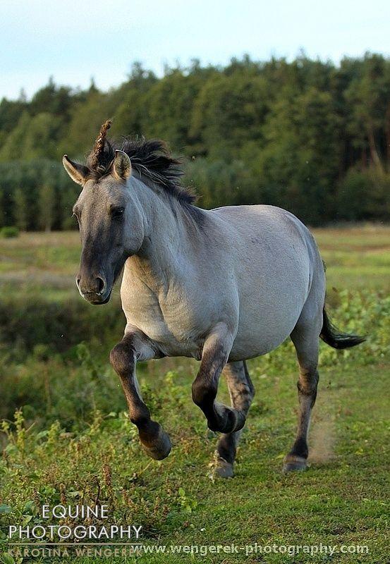 458 Best Konik Horse Images On Pinterest