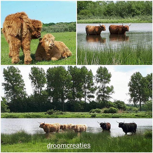 Nature excursion in Wassenaar where the Highland cattle are taking a bath.    #nature #excursion #wassenaar #highlandcattle #schotsehooglanders #droomcreaties