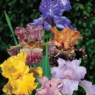 1000 images about irises on pinterest for Order tie dye roses online