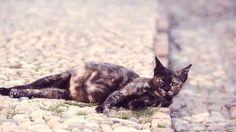 Pregnant Cat Symptoms