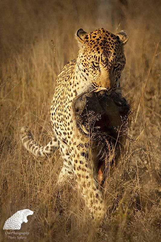 Leopard's Meal by Onephotography Photographic Safaris on 500px