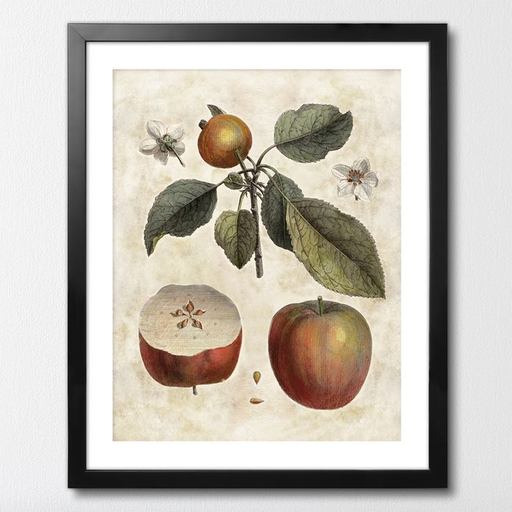 CALVILLE ROUGE MIXGALLERY vintage,apple tree,wallart,canvas,canvas print,home decor, wall,framed prints,framed canvas,artwork,art