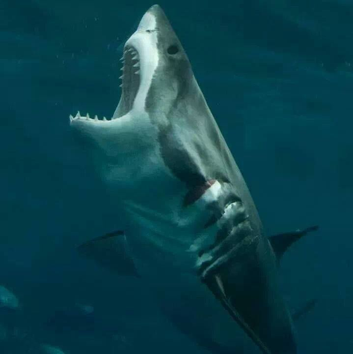 Great White Shark - Imagine you are floating on an air mattress...