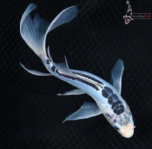 "9 5"" Blue Shusui Butterfly Fin Live Koi Fish Pond Garden NDK"