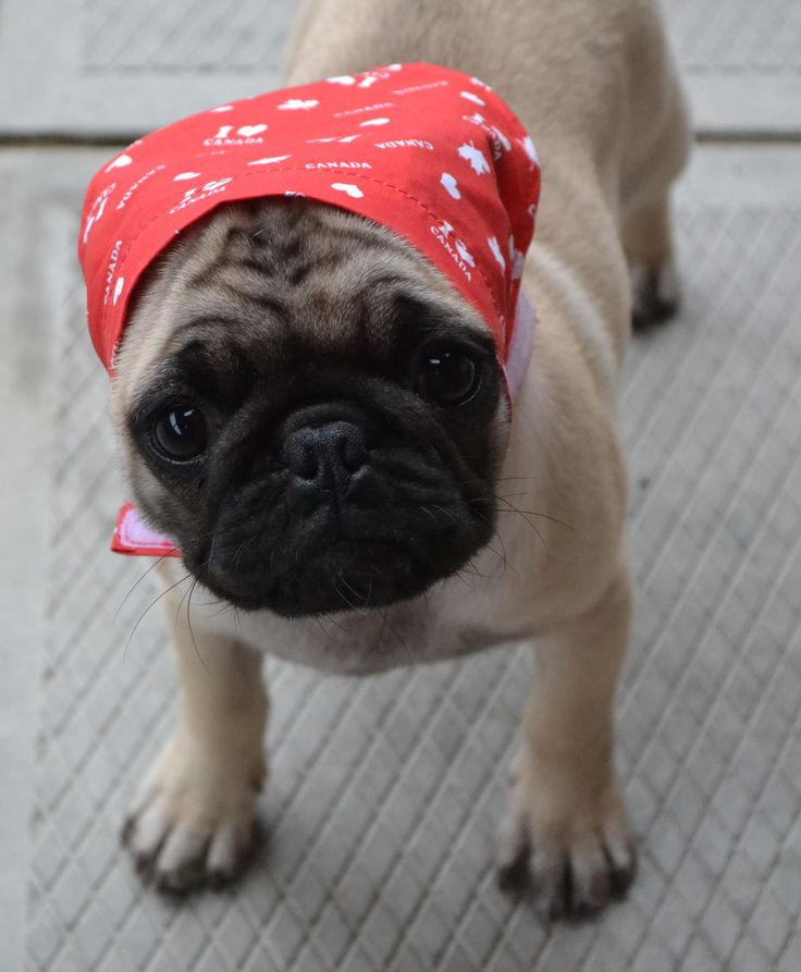 Cute Pug Puppy Our Babushka Boo                                                                                                                                                                                 More