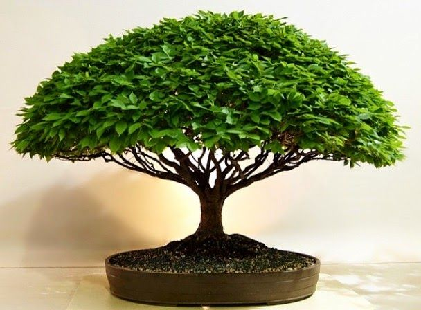 Herons Bonsai Where To Buy A Bonsai Tree Most people buy their first bonsai tree…