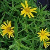 Buphthalmum salicifolium / Tusindstråle