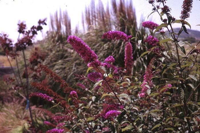 hardy in zones 5-9. dies to ground when really cold.. Plant photo of: Buddleja davidii