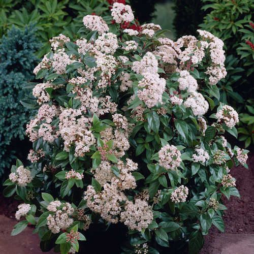 Viburnum tinus Eve Price Laurier tin est un arbuste feuillage persistant vert foncé. Viburnum tinus Eve Price evergreen shrub